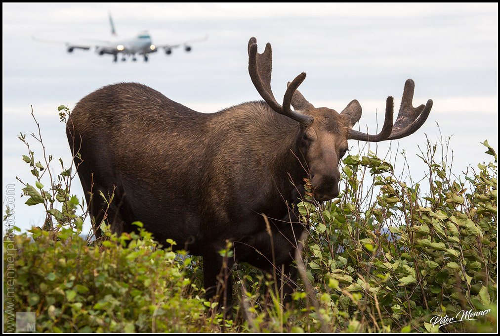 Moose and 747