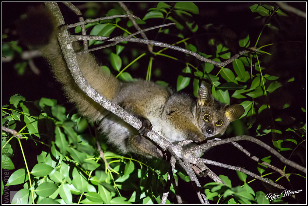 greater galago