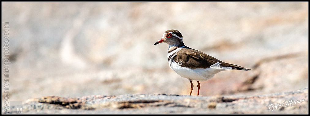 three banded plover