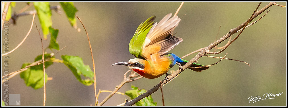 white fronted beeeater
